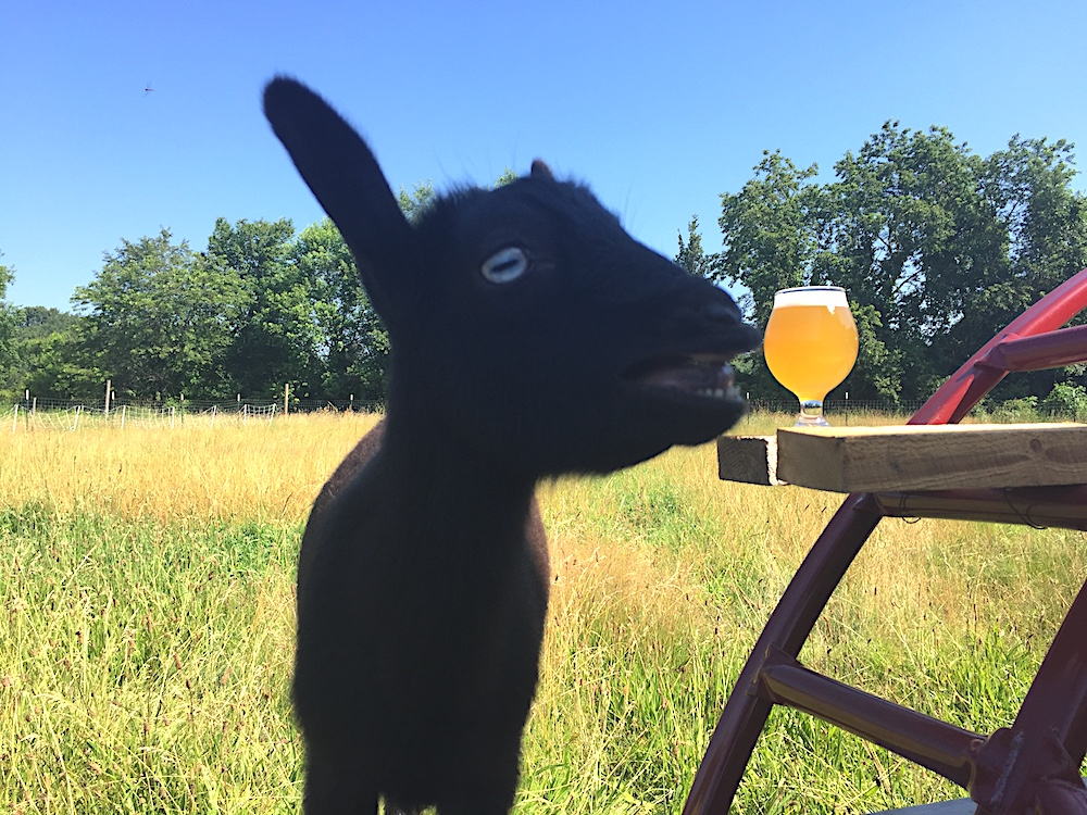 Blanche wants to eat Throwback Brewery's Light All Night